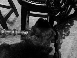 The Wee Black Dug chilling out below the table in the FTT