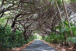 Kanumera Bay ; allée sous le Bugny , road under Bugny