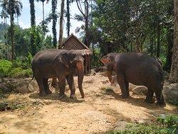 Před koupáním mají sloní volný pohyb.