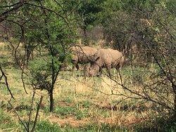 Roaming rhinos