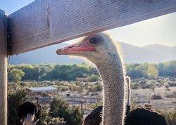 Ostrich Land