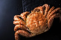 """【CRAB】 Of all the foods that tourists who visit Hokkaido look forward to, crab is one of the top sought-after tastes of winter. Crabs of Hokkaido store their meat in the cold currents of their habitat so that they can maintain their body temperature, resulting in delicious crabs that are plentiful in meat. Hokkaido is famous for its Horsehair crab, but we also offer what is known as the """"king of crabs"""" - Red King crab."""