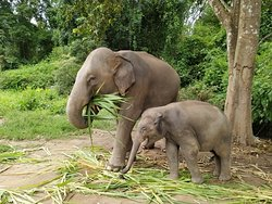 Elephants consume grasses, tree foliage, bark, twigs, and other vegetation daily. Do you know how much they can eat a day? #chiangmaielephanthome⁠ ⁠ 🐘💚💕🐘 By joining our one day program the visitors will have more time to observe the elephants throughout the day while feeding them, walking with them in beautiful natural surroundings.⠀⁠ ⁠ 💚🐘🐘💞 Would you like to observe and learn more about the elephant? Absolutely NO Riding here! chiangmaielephanthome.com ⁠ #babyElephant #Elephants