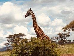 Een geweldige ervaring in de serengeti, het manyana meer en de Ngorongoro krater.  Overnachten in campsites in de natuurgebieden vlak naast de dieren. Een onvergetelijke ervaring... #memoriesforlife
