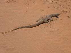 Good Sized Goanna