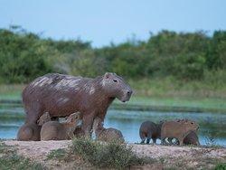 Wasserschwein mit Babies