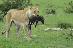 Lion kill at the Maasai Mara Plains
