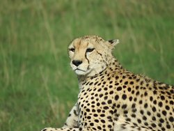 Cheetah overlooking the plains
