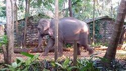 Elephant walking to river