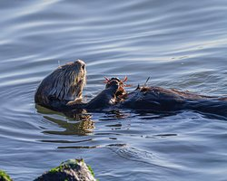 Sea Otter having lunch at the side of the Fast Raft loading pier.