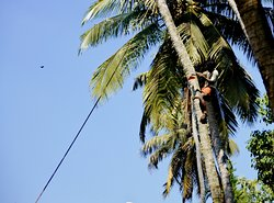 man how cut coconut tree - on a way to the backwaters