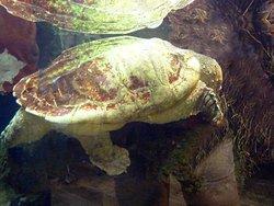 Turtle swimming in display.
