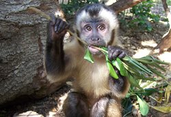 Abby the capuchin enjoying her almost wild life!