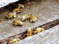 Local bees