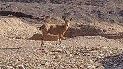 Ibex,mountain goat of Mt.Sinai region.