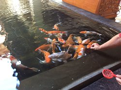 Feeding the carp in reception