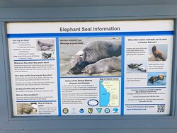 Elephant Seals at their best in this natural habitat