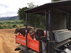 Our silver labs Layla and Maya on a Kubota ride