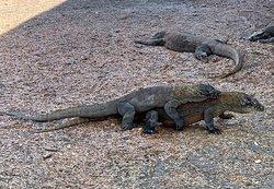 Visitando los Dragones de Komodo