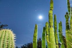 Organ Pipe Cactus-Tucson Botanical Gardens