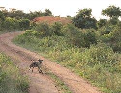 Hyena chasing Waterbuck in the park