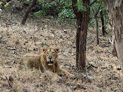 Majestic Gir lion