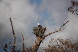 Nesting eagle on Bayou