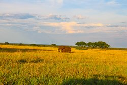 An African Elephant Striding across the savanna plains in Kidepo Valley National Park