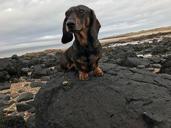 Wolfgang the sausage dog on a walk along gullane beach