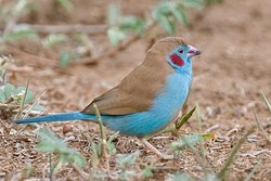 Red cheeked cordon blue
