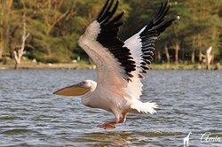 Bird watching tour at Lake Naivasha - see more safaris on our website - http://www.aminkenyasafaris.com/