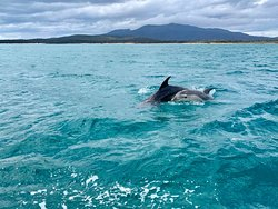 Dolphins are a common sight in the crystal clear waters around Maria Island