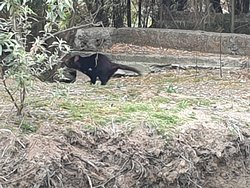 A sneaky and camera shy Tasmanian devil exciting guests.  Our guides are very experienced in looking for hard to find wildlife.  This was a great day!