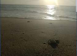 Turtle Hatchlings between October and February