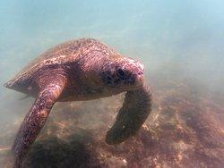une des tortues présentes à Playa Blanca