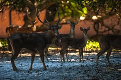 Família Cervo Rusa