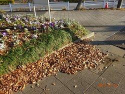 この公園での公園美化ボランテイアは、花壇に花を入れること以外やりません。  花壇周辺の排水路。一年中落葉積もらせても、 誰一人、掃除しません。 この公園花壇の周辺はどれもこんな感じです。落葉に埋もれた自然ですてきな花壇らしいです。