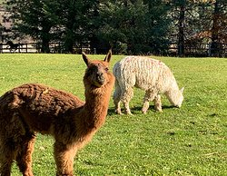 Come see some smiling alpacas!