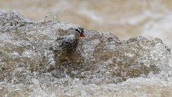 a torrent duck near Guango