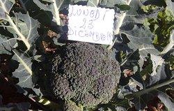 Cavol broccolo