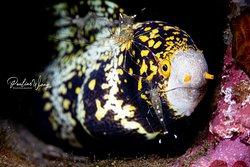 Cleaner shrimp on snowflake eel
