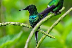Verdesana Forest Lodge hummingbird
