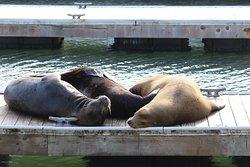 Three sea lions lounging
