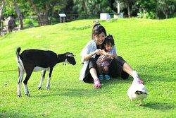 はいむるぶしには可愛らしい 水牛やヤギ、アヒル、カメ等の動物がいて触れ合うことができます。