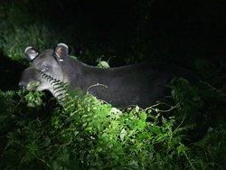 Das erste Tapir nach drei Stunden  :-)