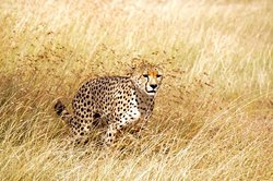 Cheetahs in Serengeti Park, they are lovely cats.
