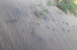 Tiger foot marks in udawalawe