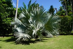 One of two Mexican Blue Fan Palm trees on hole 8
