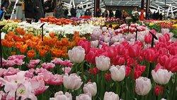 Tem um grande galpão, no centro do Jardim, onde se pode conhecer a grande variedade de cores e tamanhos de tulipas. Algumas gigantes.