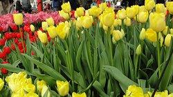 Amo tulipas amarelas.